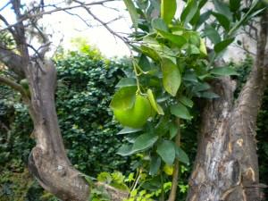 Oranges growing on my own tree!